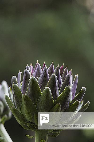 Nahaufnahme Artischockenpflanze