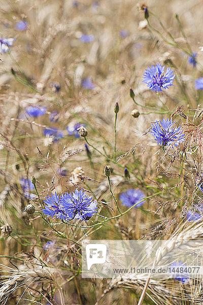 Close up purple wildflowers growing in rural wheat field