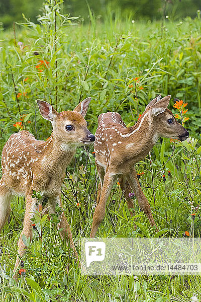 Closeup of twin baby white-tailed deer fawns standing in wildflowers Minnesota Spring Captive