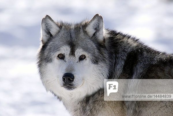 Captive Gray Wolf portrait winter