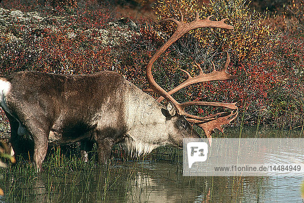 Caribou Drinking from Lake Fall Int AK