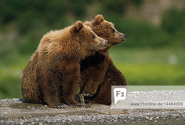 Brown Bear Cubs McNeil River Area Southwest Alaska