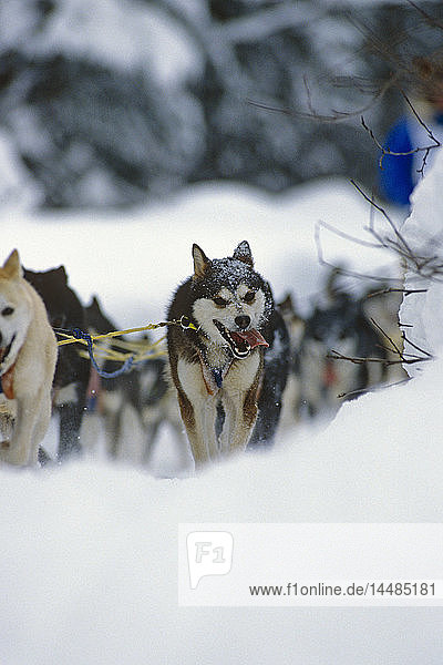 Iditarod Sled Dogs Pull Forward Tudor Sled Dog Track