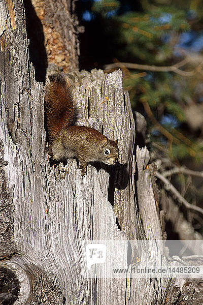 Red Squirrel Climbing on Stump Alaska Summer