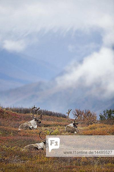 Three bull caribou bedded on Autumn tundra in Denali National Park  Interior Alaska