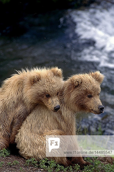 Two Brown Bear Cubs Naknek River Brooks Falls Alaskan Peninsula Southwest Summer Katmai National Park