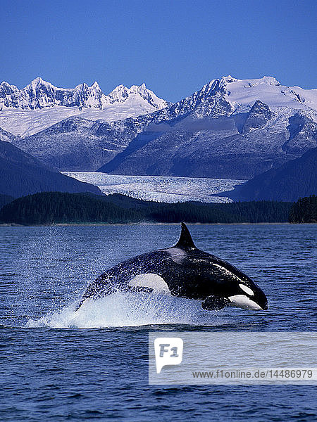 Orca Whale Jumping w/Glacier Digital Composite AK/nMendenhall Towers