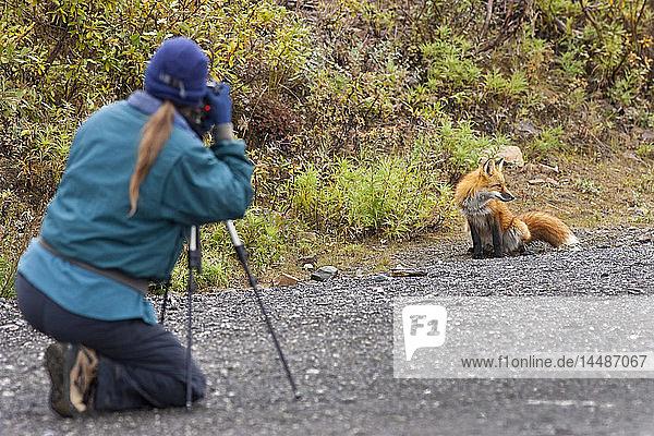 Woman photographs a red fox at the Polychrome Pass parking area in Denali National Park  Interior Alaska  Autumn