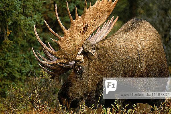 Profile of Bull Moose in Scrub brush IN Alaska Fall
