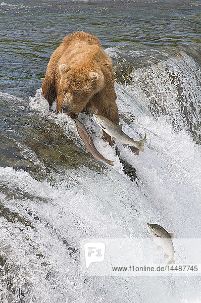 Adult Brown Bear fishing for salmon at top of Brooks Falls  Katmai National Park  Southwest Alaska  Summer