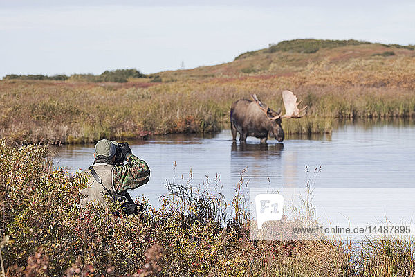 Person photgraphing a bull moose wading in a pond during Autumn in Denali National Park  Alaska