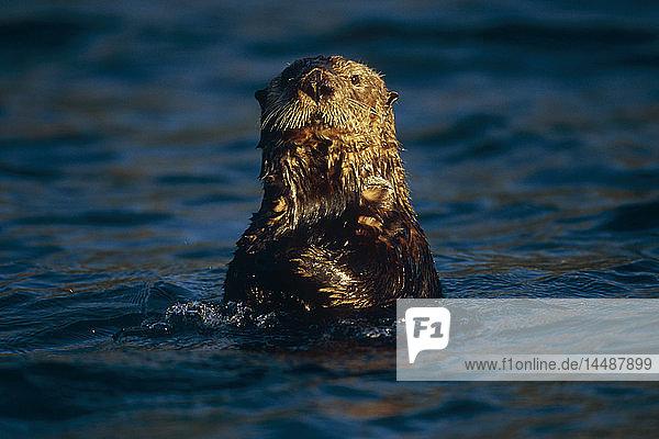 Close up of Sea Otter in Resurrection Bay Alaska KP Summer