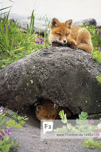 Red Fox Kits Play Around Den Coastline Katmai National Park Southwest Alaska Summer