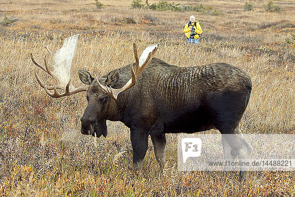 Photographer photographs a large bull moose during Autumn in Powerline Pass near Anchorage in Southcentral Alaska