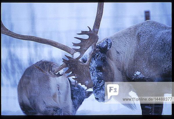 Reindeer Big Game Alaska Southcentral Alaska captive winter