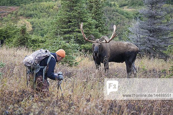 Moose bull being filmed by videographers during Fall rut  Powerline Pass  Chugach State Park  Chugach Mountains  Alaska