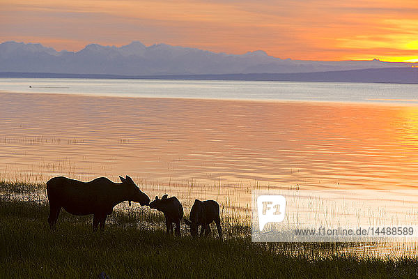 Cow and two calf moose feeding along the Tony Knowles Coastal Trail at sunset during Summer in Anchorage  Southcentral Alaska