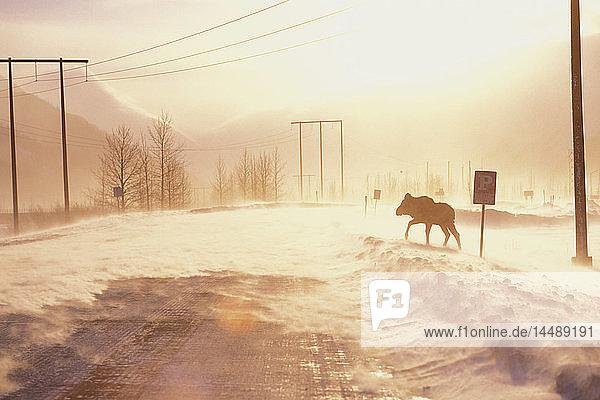 Moose Crossing Seward Hwy in Blowing Snow SC AK Winter