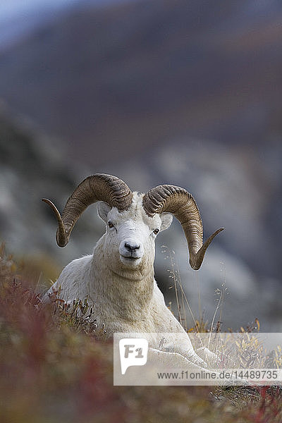 Dall Sheep ram bedded down on the mountainside with  Mount Margaret  Denali National Park  Alaska