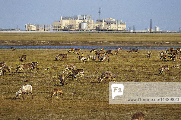 View of Caribou grazing on tundra near Lisburne Oil Facilities on the North Slope  Prudhoe Bay  Arctic Alaska  Summer