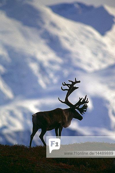 Adult Caribou Silhouette Mt McKinley Denali NP Int AK/nSummer