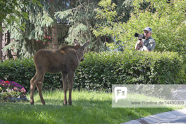 Photographer takes a picture of a young moose calf in a residential neighborhood  Anchorage  Southcentral AK  Summer