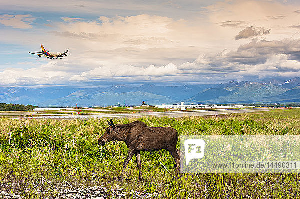 Young bull moose walking in a field while a jumbo jet comes in for a landing at Ted Stevens International Airport  Anchorage  Southcentral Alaska  summer