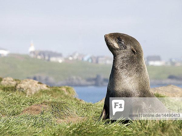 Portrait of a Northern Fur Seal near the town of St. Paul  St. Paul Island  Southwest Alaska  Summer