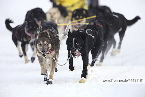 Musher Scott White´s dog team running near UAA during the 2010 ceremonial Iditarod start in Anchorage  Southcentral Alaska  Winter/n