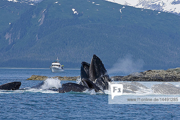 Humpback Whales surfaces while bubble net lunge feeding on herring in Lynn Canal  Alaska.