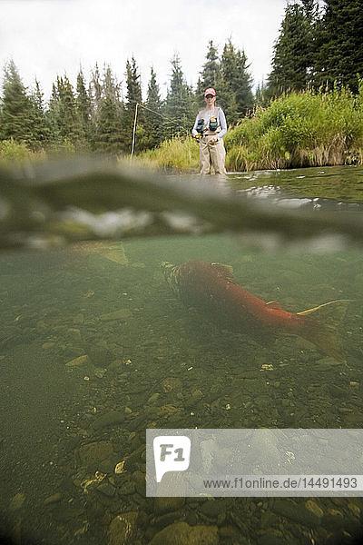 Woman spinfishing on Quartz Creek w/spawning Sockeye Salmon underwater Kenai Peninsula AK Composite