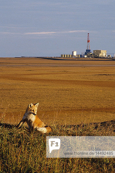 Red Fox on Tundra near Oil Drilling Rig Prudhoe Bay AK/nNorth Slope AR Autumn