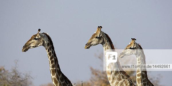 Three Giraffes (Giraffa camelopardalis)