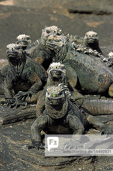 Iguanas sunbathing