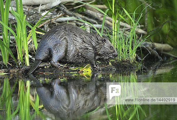 European beaver (Castor fiber)