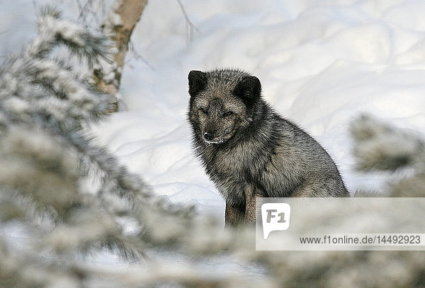 Arctic Fox (Alopex lagopus) in snow