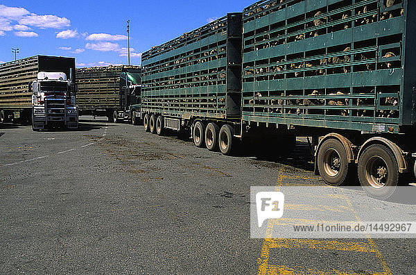 Trucks transporting sheep