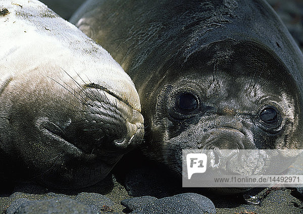 Close-up of two elephant seals