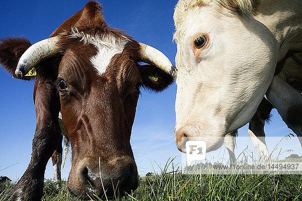 Cattle grazing  Sweden.