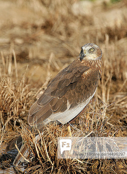 Hawk standing on grass
