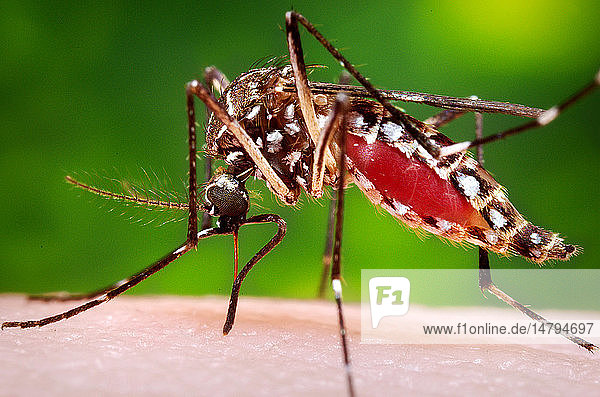 This photograph depicted a female Aedes aegypti mosquito while she was in the process of acquiring a blood meal from her human host  who in this instance  was actually the biomedical photographer  James Gathany  here at the Centers for Disease Control. The feeding apparatus consisted of a sharp  orange-colored fascicle that was covered in a soft  pliant sheath called the labellum while not feeding. The labellum was shown here retracted as the sharp stylets contained within pierced the host´s skin surface  thereby  allowing the insect to obtain its blood meal. The orange color of the fascicle was due to the red color of the blood as it migrated up the thin  sharp translucent tube. Note the distended abdominal exoskeleton  which being translucent  allowed the color of the ingested blood meal to be visible.