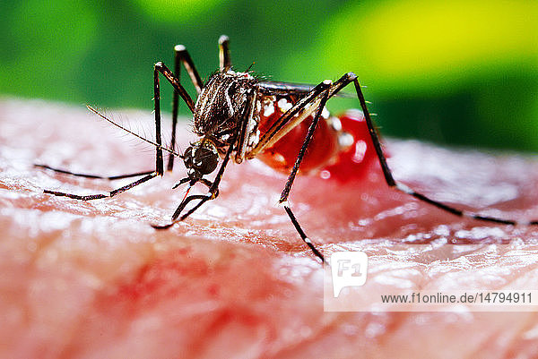 This photograph depicted a female Aedes aegypti mosquito while she was in the process of acquiring a blood meal from her human host  who in this instance  was actually the biomedical photographer  James Gathany  here at the Centers for Disease Control. The feeding apparatus consisted of a sharp  orange-colored fascicle that was covered in a soft  pliant sheath called the labellum while not feeding. The labellum was shown here retracted as the sharp stylets contained within pierced the host´s skin surface  thereby  allowing the insect to obtain its blood meal. The orange color of the fascicle was due to the red color of the blood as it migrated up the thin  sharp translucent tube. Though out of focus in the background  note the droplet of newly ingested blood that was being expelled at the distal abdominal tip merely due to over-engorgement on the hosts blood.