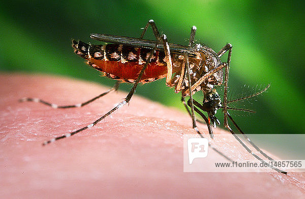 This photograph depicted a female Aedes aegypti mosquito as she was in the process of obtaining a blood meal  which normally is from an unsuspecting host  but in this case  the CDC´s biomedical photographer  James Gathany  had volunteered his own hand in order to entice the insect to alight  and feed. Note that having penetrated the skin surface with its sharply-pointed fascicle  the feeding mosquito was collecting its blood meal in its distended abdomen  evidenced by the red coloration visible through the stretching  translucent exoskeletal abdominal exterior. If you look carefully  you can also see that the labium  which is the soft tissue sheath that envelopes the sharply-pointed fascicle  had slid up the fascicle  and took on a kinked configuration  pointing posteriorly.