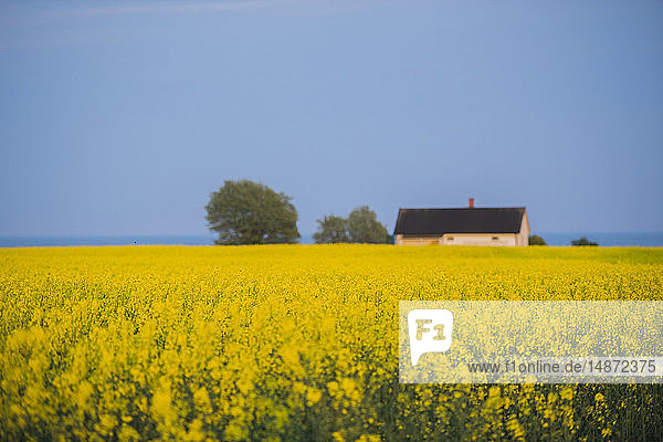 House with blooming rapeseed field
