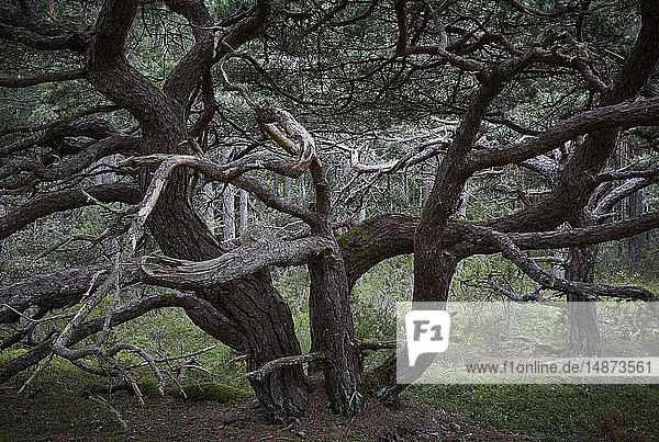 Twisted tree in forest