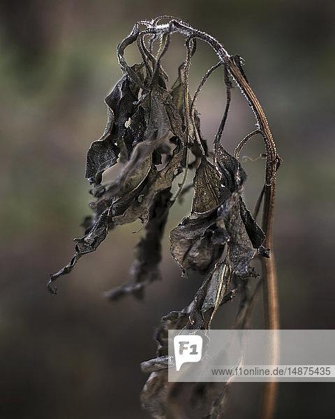 Dry leaves on twig