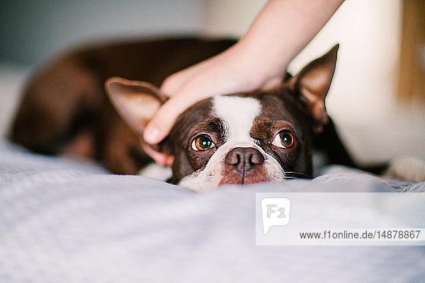 Haushund wird auf dem Bett gestreichelt