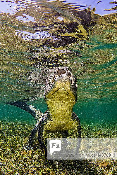 Amerikanisches Salzwasserkrokodil auf dem Atoll der Chinchorro Banks  Tiefblick  Xcalak  Quintana Roo  Mexiko