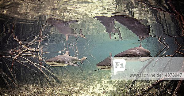 Underwater view of baby lemon sharks swimming amongst mangroves  Alice Town  Bimini  Bahamas