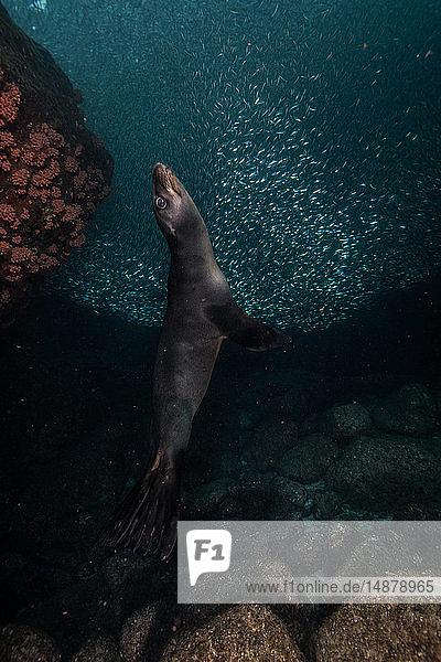 Seelöwen spielen in der Nähe von Felsen